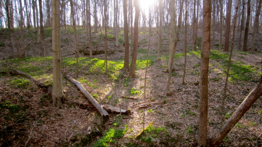 Wild ramps being sustainably managed on private forestland in Meigs County, Ohio