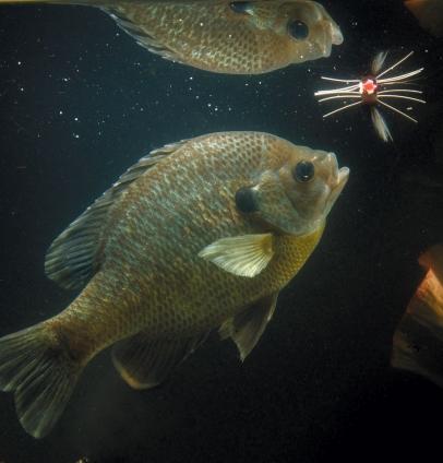 the bluegill fish