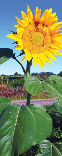 bright sunflower from Ohio State University's Garden of Hope for cancer survivors