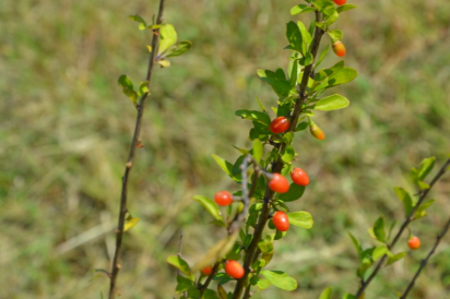 Chinese goji berries in Ohio