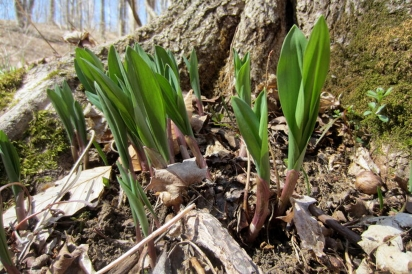 Ramps with leaves just beginning to unfurl in the Wayne National Forest.