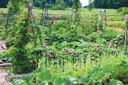 milkweed plants in garden