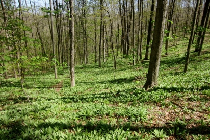 Large patch in Wayne National Forest that is part of ongoing population monitoring efforts conducted by Rural Action.