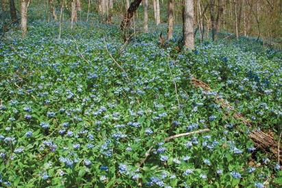 Virginia Bluebells (Mertensia virginica) at Ohio River Bluffs