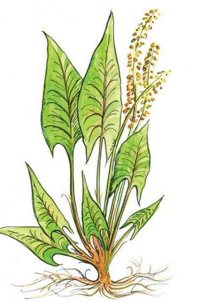 RED-VEINED SORREL illustration