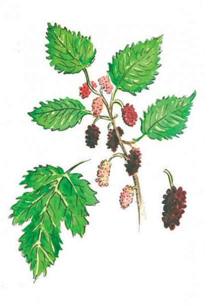 RED MULBERRY illustration