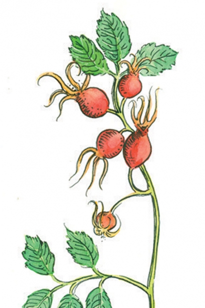 ROSE HIP illustration