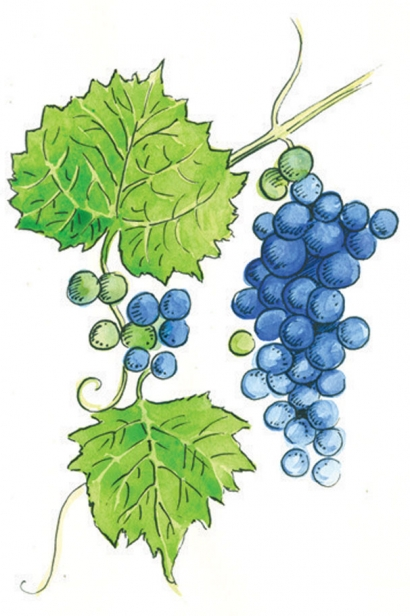 WILD GRAPE illustration