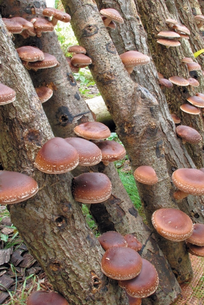 Janell's mushroom log operation, fruiting shiitake mushrooms on logs harvested from their forest at Blue Owl Hollow.