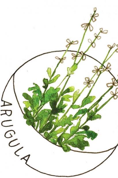 arugula illustration